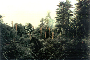 Photo of crash site - trees severed by airplane